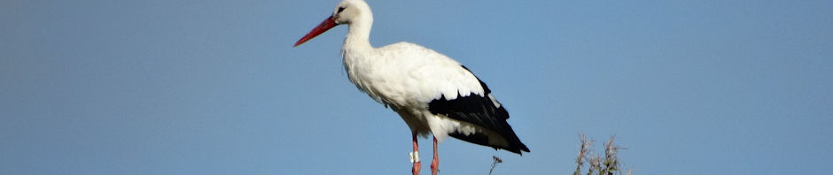 Den første stork er landet i Danmark