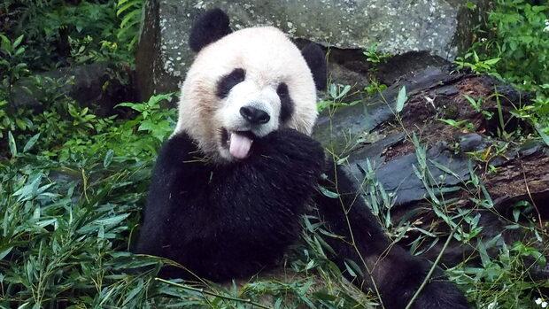 Danmarks første pandaer ankommer i april